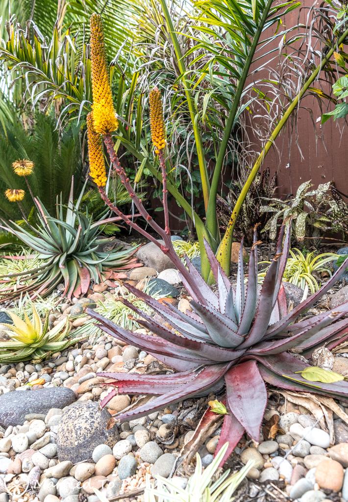 2017 Blooms Aloe betsileensis