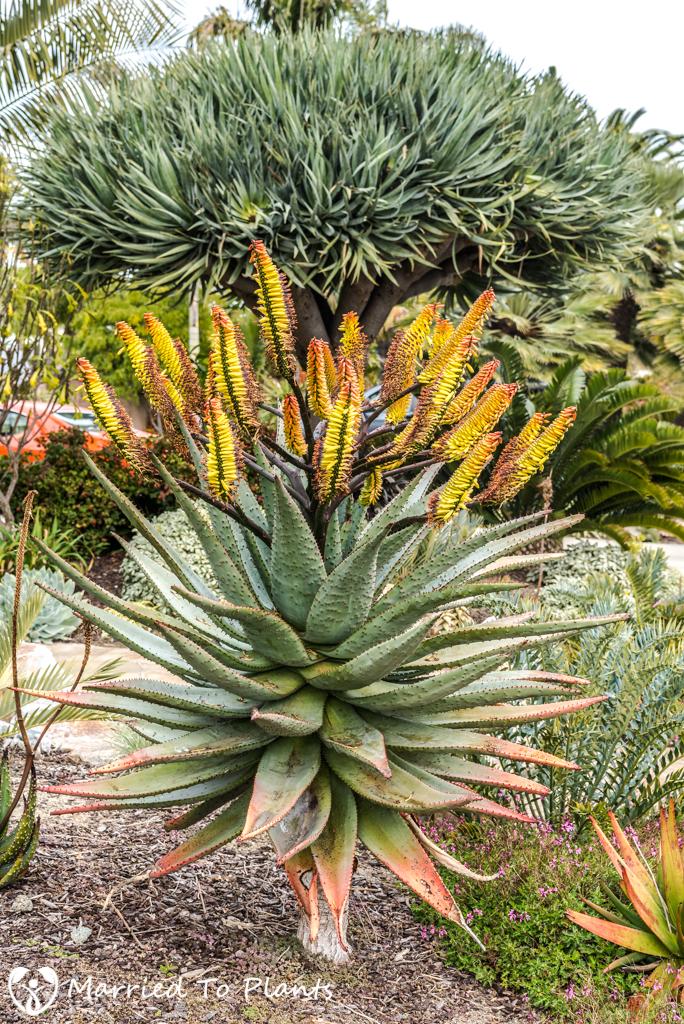 2017 Blooms Aloe marlothii