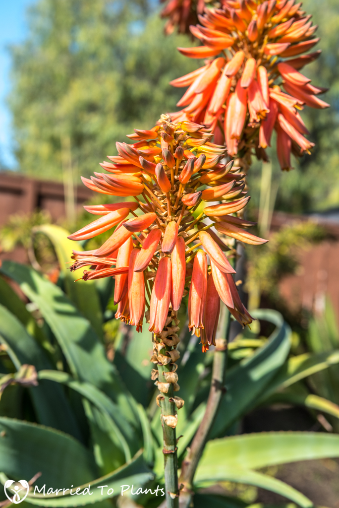 2017 Blooms Aloe munchii Flower