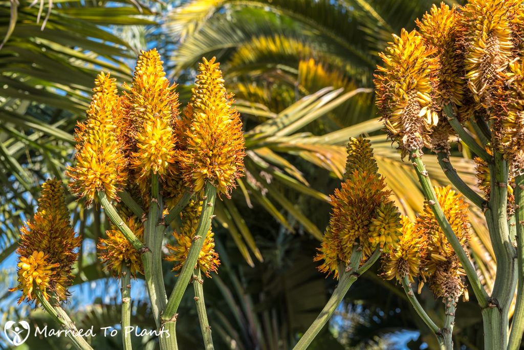2017 Blooms Aloe thraskii Flowers