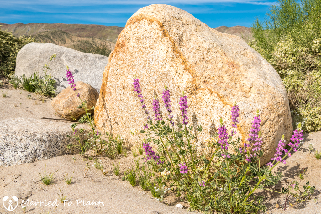 Anza-Borrego Wildflowers - Arizona Lupine (Lupinus arizonicus)