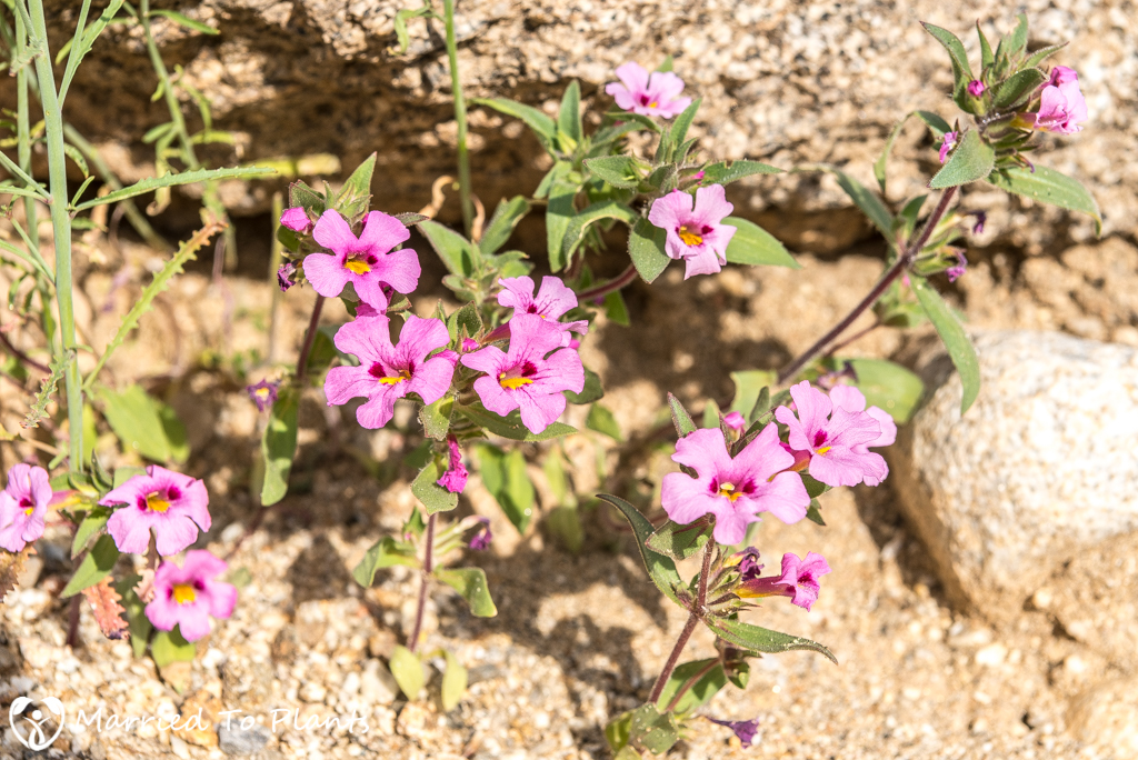 Anza-Borrego Wildflowers - Bigelow's Monkeyflower (Mimulus bigelovii var. bigelovii)