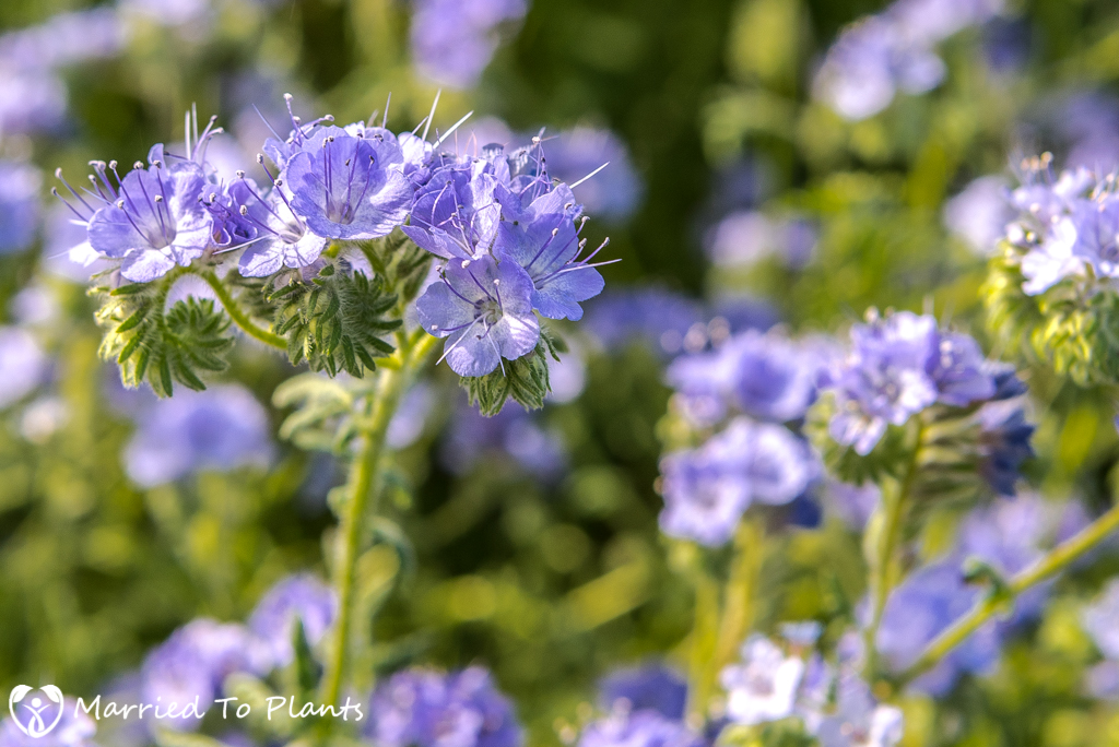 Anza-Borrego Wildflowers - Blue Phacelia (Phacelia distans)