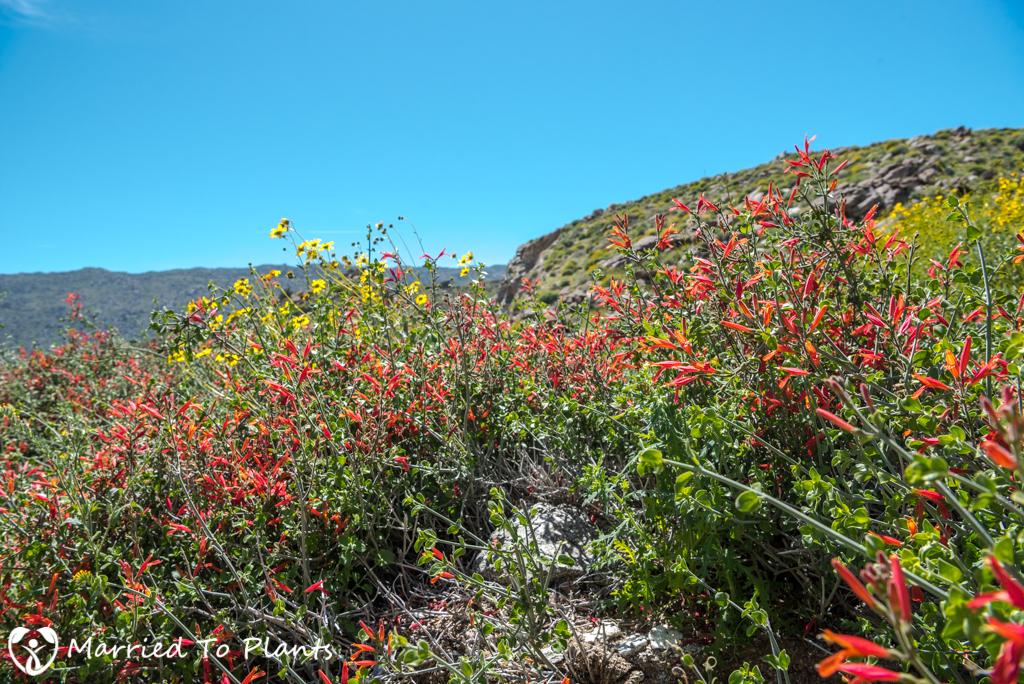 Anza-Borrego Wildflowers - Chuparosa (Justicia californica)