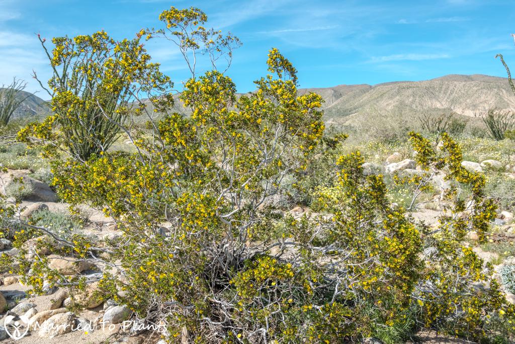 Anza-Borrego Wildflowers - Creosote Bush (Larrea tridentata)
