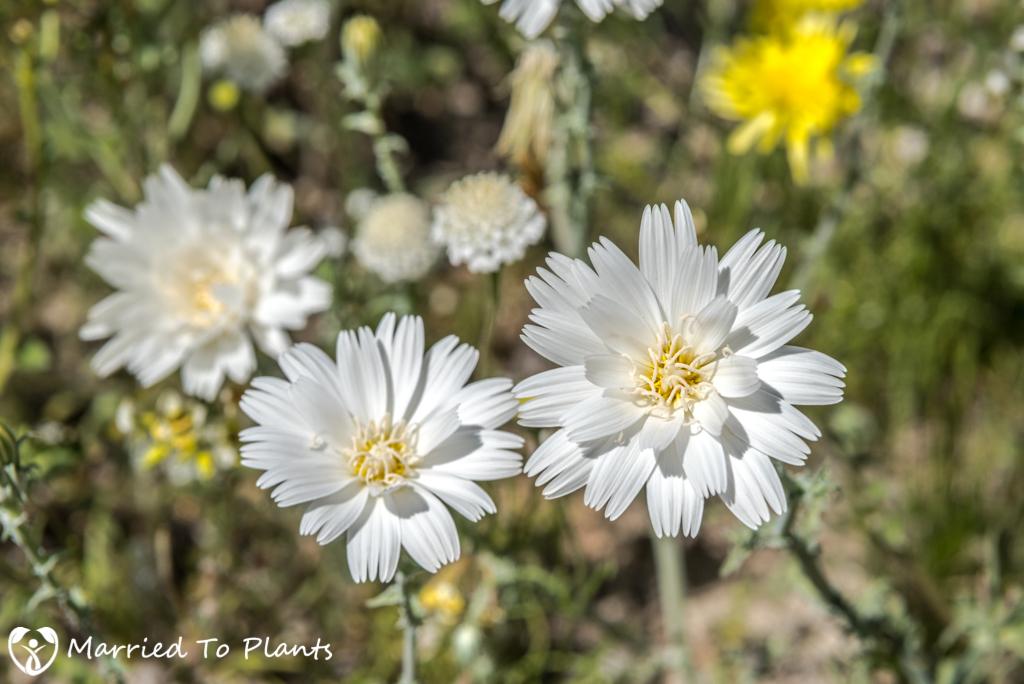 Anza-Borrego Wildflowers - Desert Chicory (Rafinesquia neomexicana)