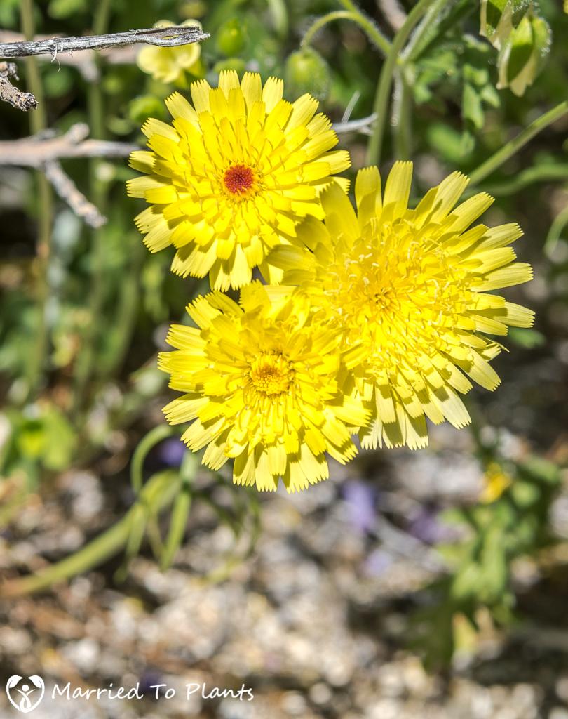 Anza-Borrego Wildflowers - Desert Dandelion (Malacothrix glabrata)