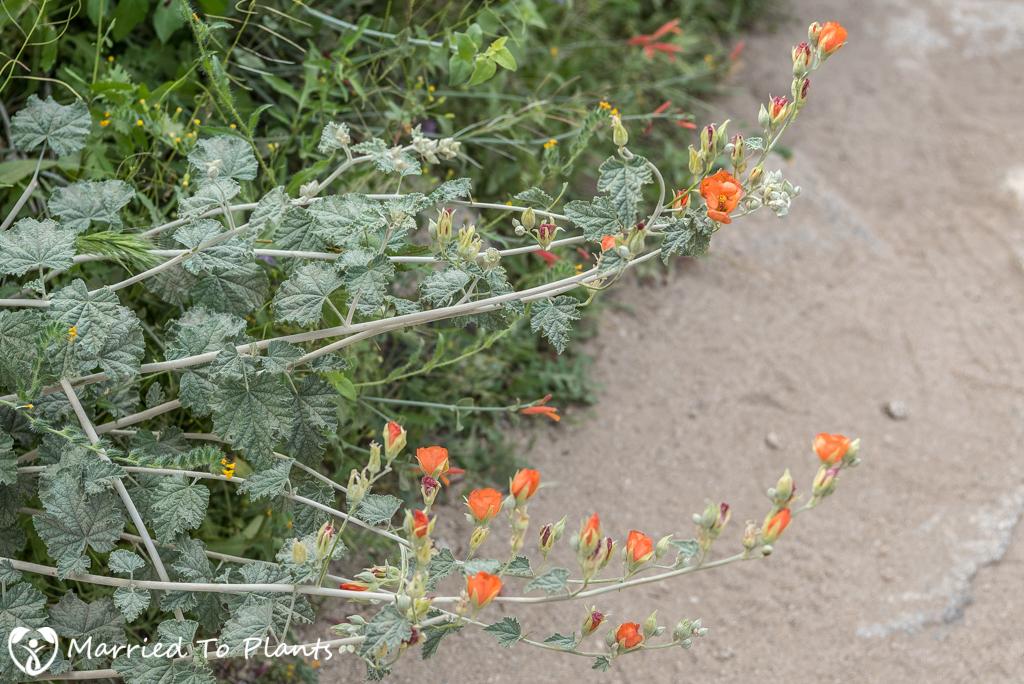 Anza-Borrego Wildflowers - Desert Globemallow (Sphaeralcea ambigua)