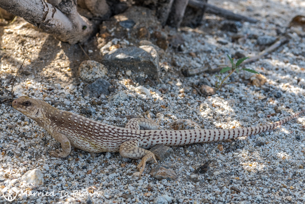 Anza-Borrego Wildflowers - Desert Iguana