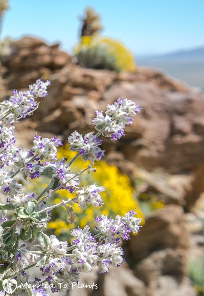 Anza-Borrego Wildflowers - Desert Lavender (Hyptis emoryi)