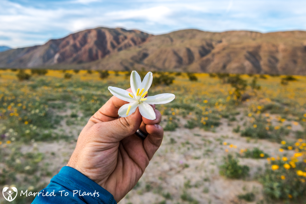 Anza-Borrego Wildflowers - Desert Lily (Hesperocallis undulata)