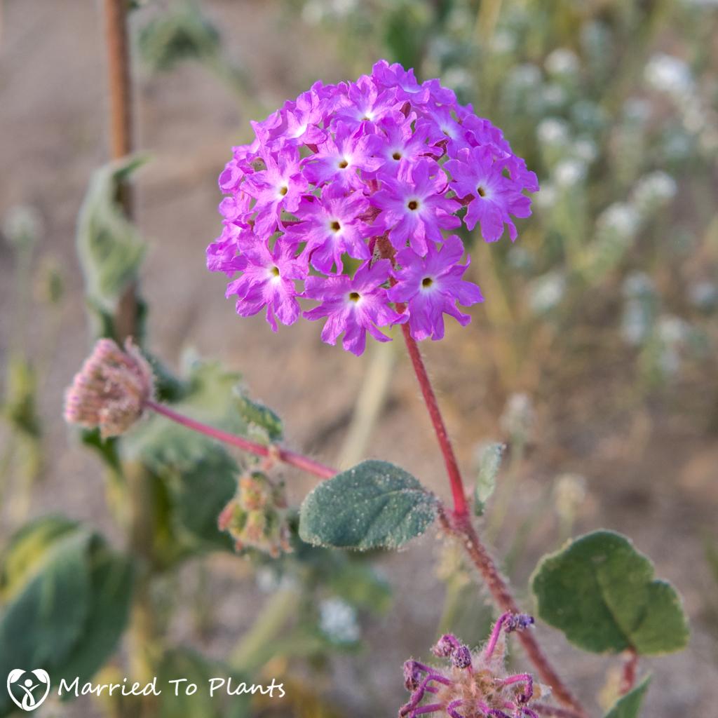 Anza-Borrego Wildflowers - Desert Sand Verbena Flower