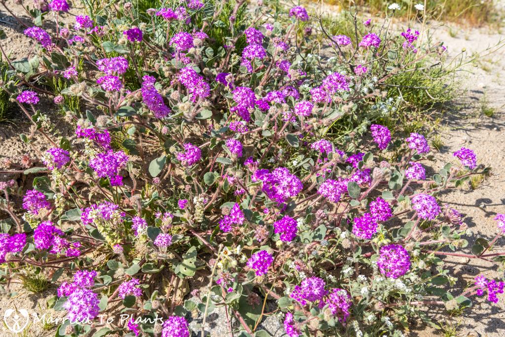 Anza-Borrego Wildflowers - Desert Sand Verbena (Abronia villosa var. villosa)
