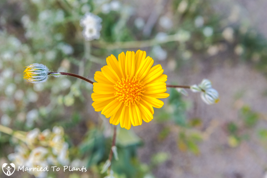 Anza-Borrego Wildflowers - Desert Sunflower (Geraea canescens)