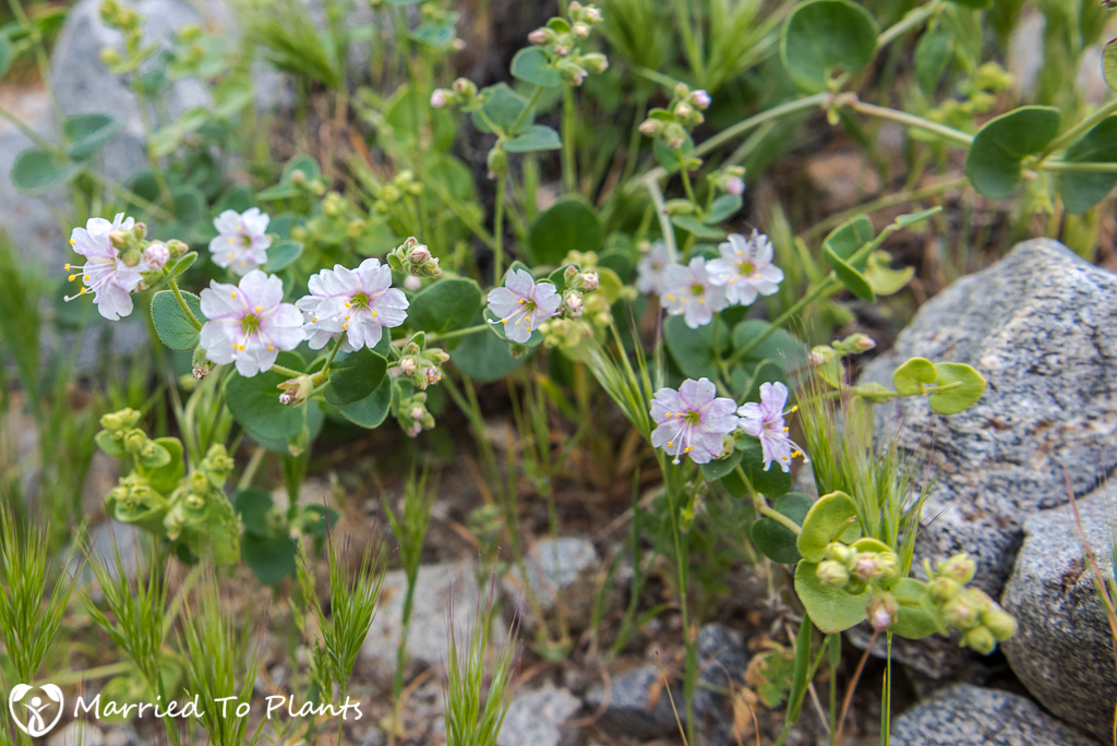 Anza-Borrego Wildflowers - Desert Wishbone Bush (Mirabilis laevis)
