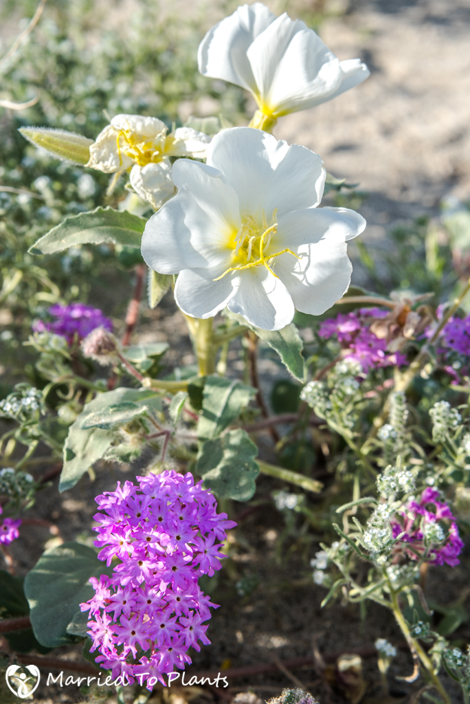 Anza-Borrego Wildflowers - Dune Primrose and Sand Verbena