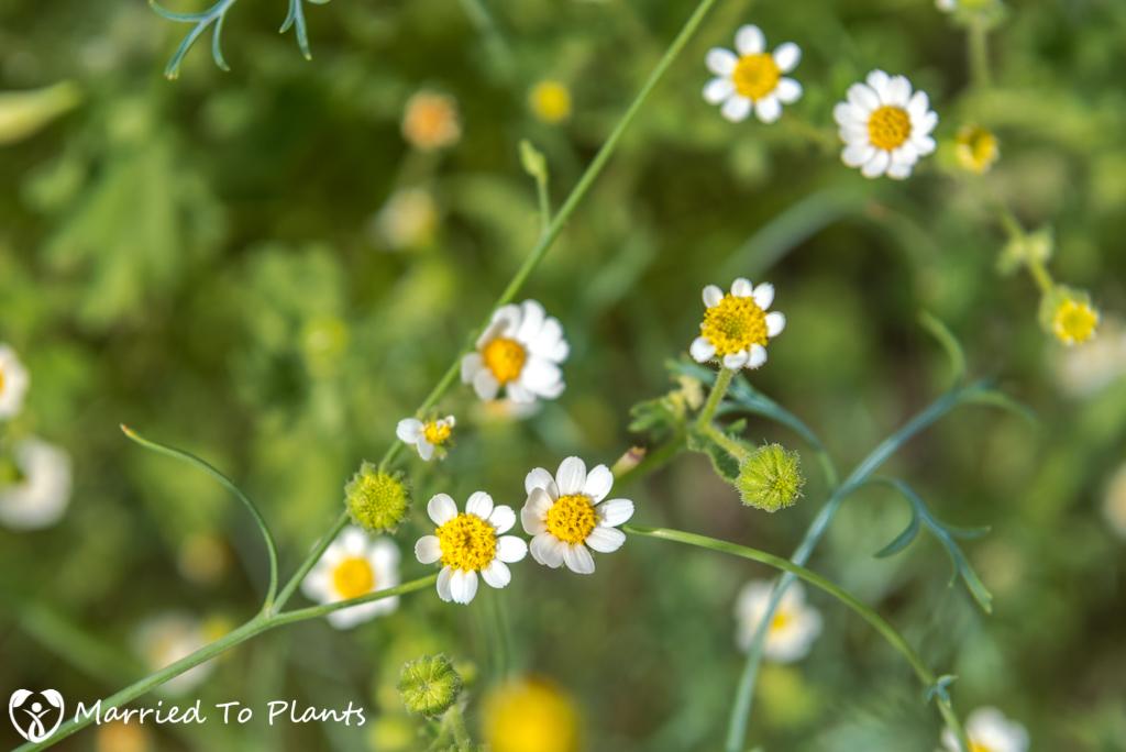 Anza-Borrego Wildflowers - Emory's Rock Daisy (Perityle emoryi)