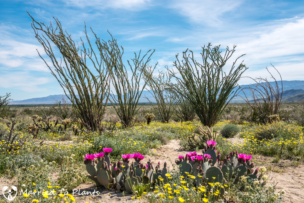 Anza-Borrego Wildflowers