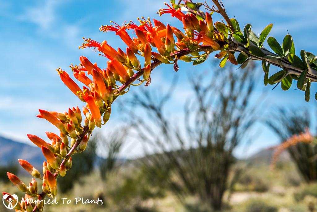 Anza-Borrego Wildflowers - Fouqieria splendens ssp. splendens Flower