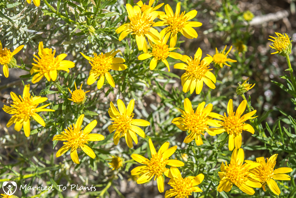 Anza-Borrego Wildflowers - Narrowleaf Goldenbush (Ericameria lin