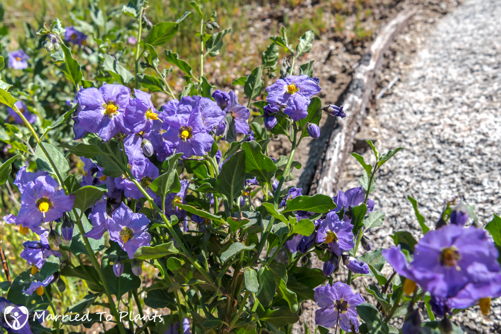 Anza-Borrego Wildflowers - Parish's Horse-Nettle (Solanum parishii)