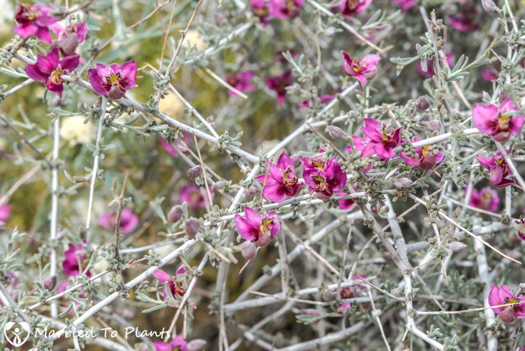 Anza-Borrego Wildflowers - Pima Rhatany (Krameria erecta)