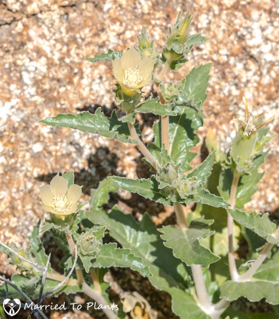 Anza-Borrego Wildflowers - Sand Blazing Star (Mentzelia involucrata)
