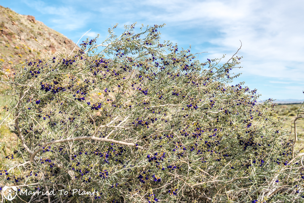 Anza-Borrego Wildflowers - Schott's Indigo Bush (Psorothamnus schottii)