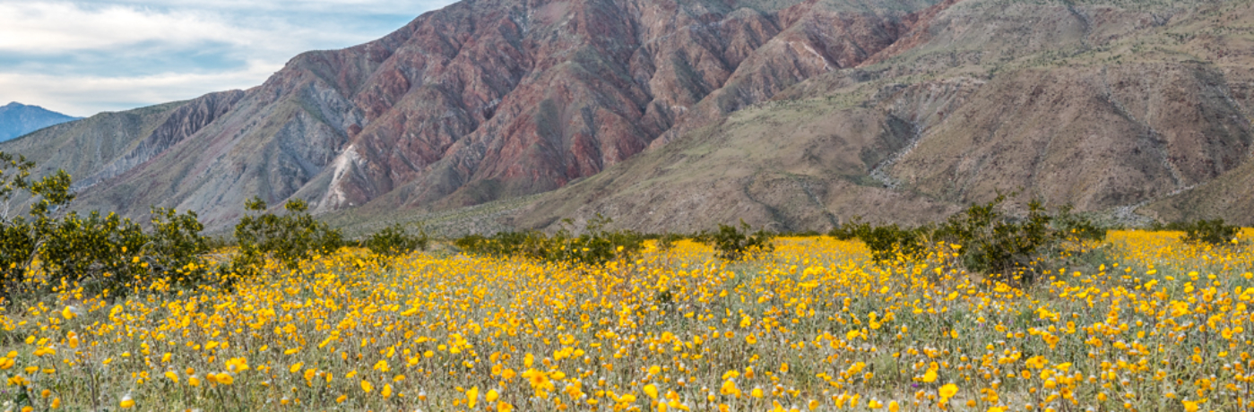 A visit to the Anza-Borrego Desert to see the wildflower super bloom
