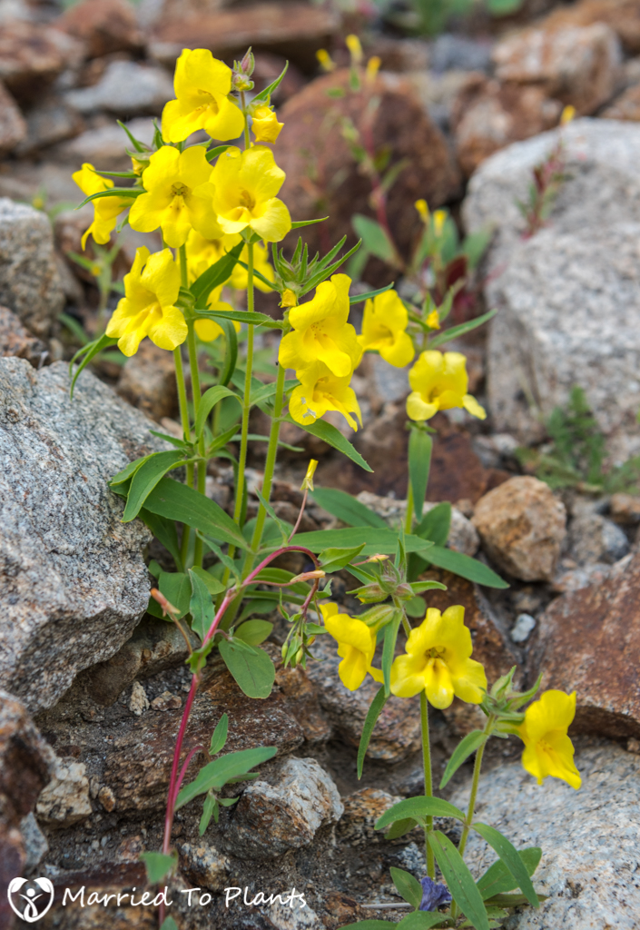 Anza-Borrego Wildflowers - Wide-throated Yellow Monkeyflower (Mi