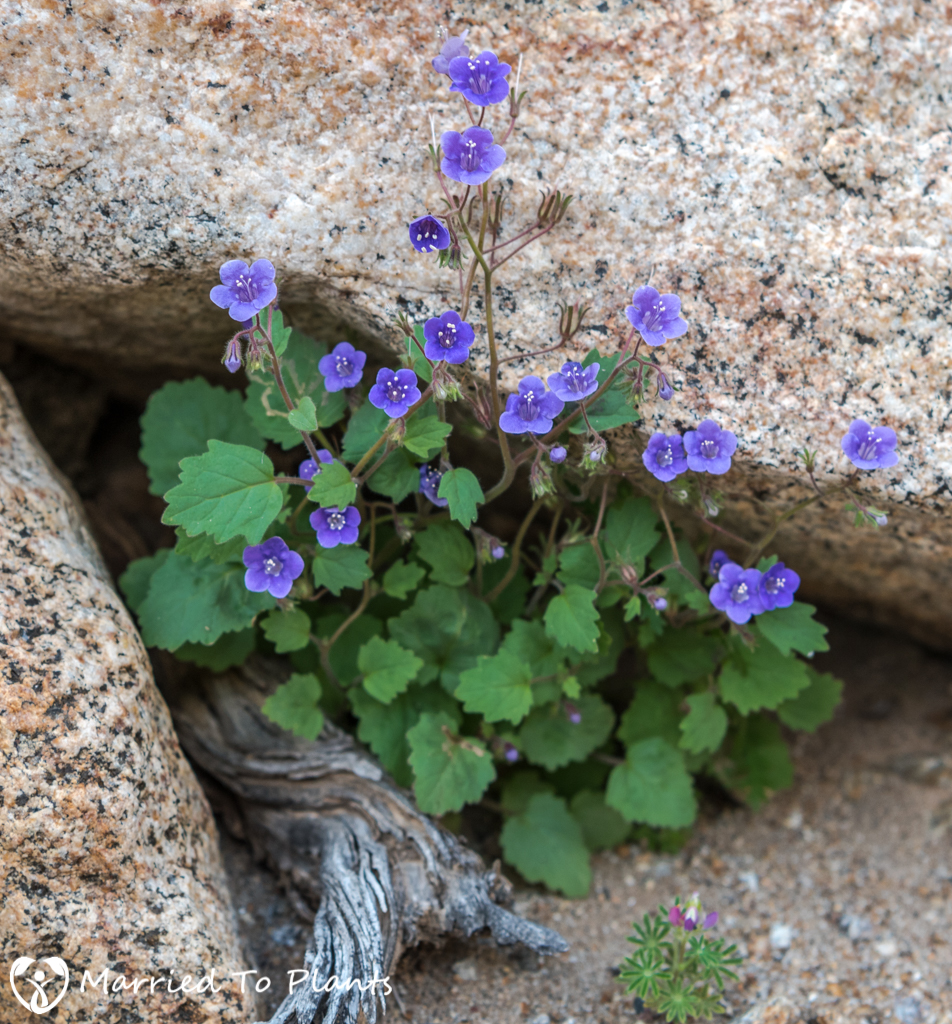 Anza-Borrego Wildflowers - Wild Canterbury Bells (Phacelia minor)