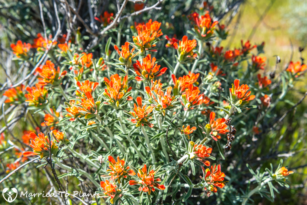 Anza-Borrego Wildflowers - Woolly Indian Paintbrush (Castilleja foliolosa)