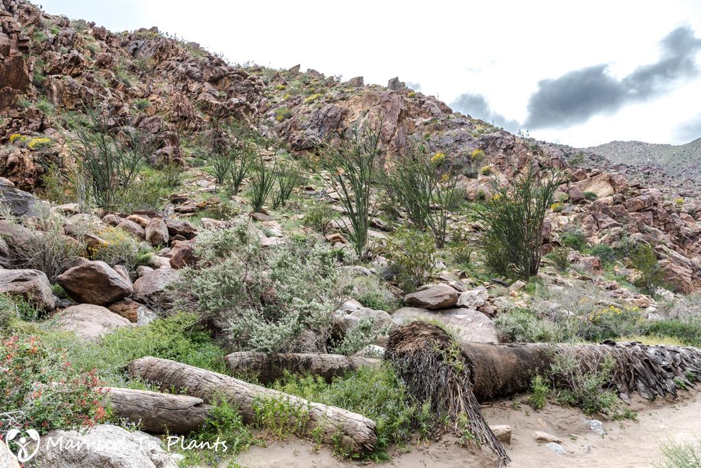 Palm Canyon - Canyon Wall