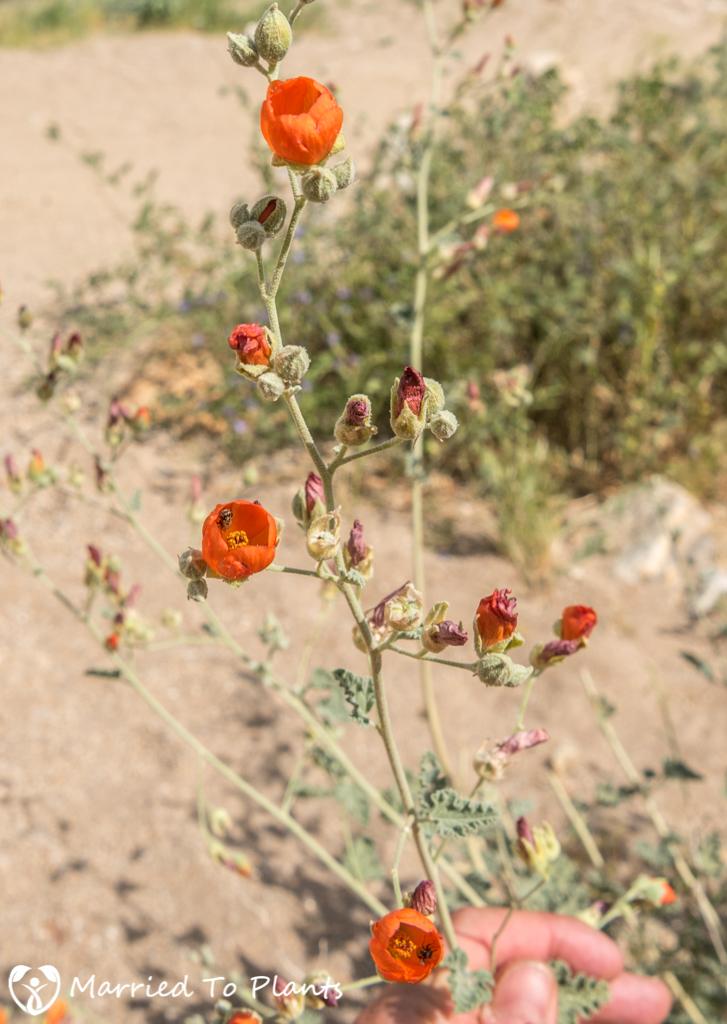 Palm Canyon - Desert Globemallow (Sphaeralcea ambigua)