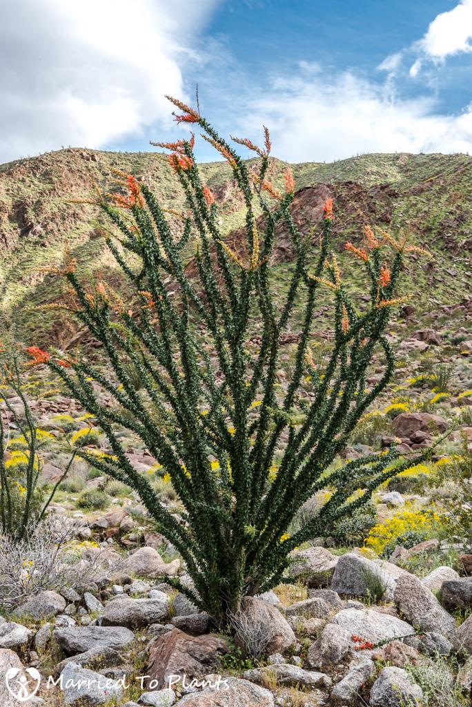 Palm Canyon - Fouquieria splendens