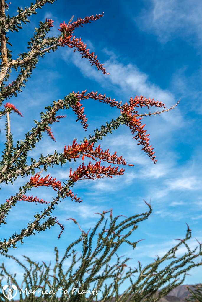 Palm Canyon - Fouquieria splendens Flowers