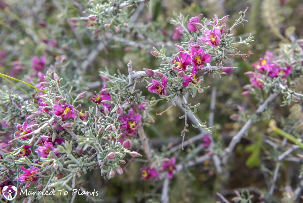 Palm Canyon - Pima Rhatany (Krameria erecta)