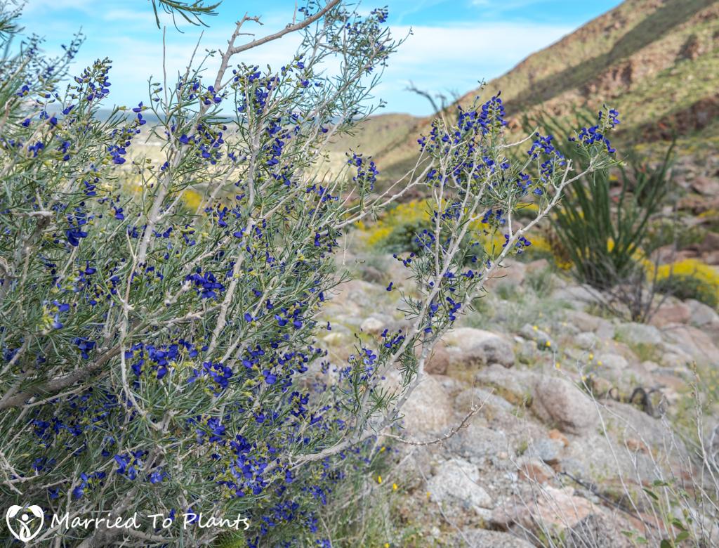 Palm Canyon - Schott's Indigo Bush (Psorothamnus schottii)