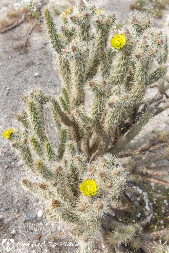 Palm Canyon - Silver Cholla (cylindropuntia echinocarpa)