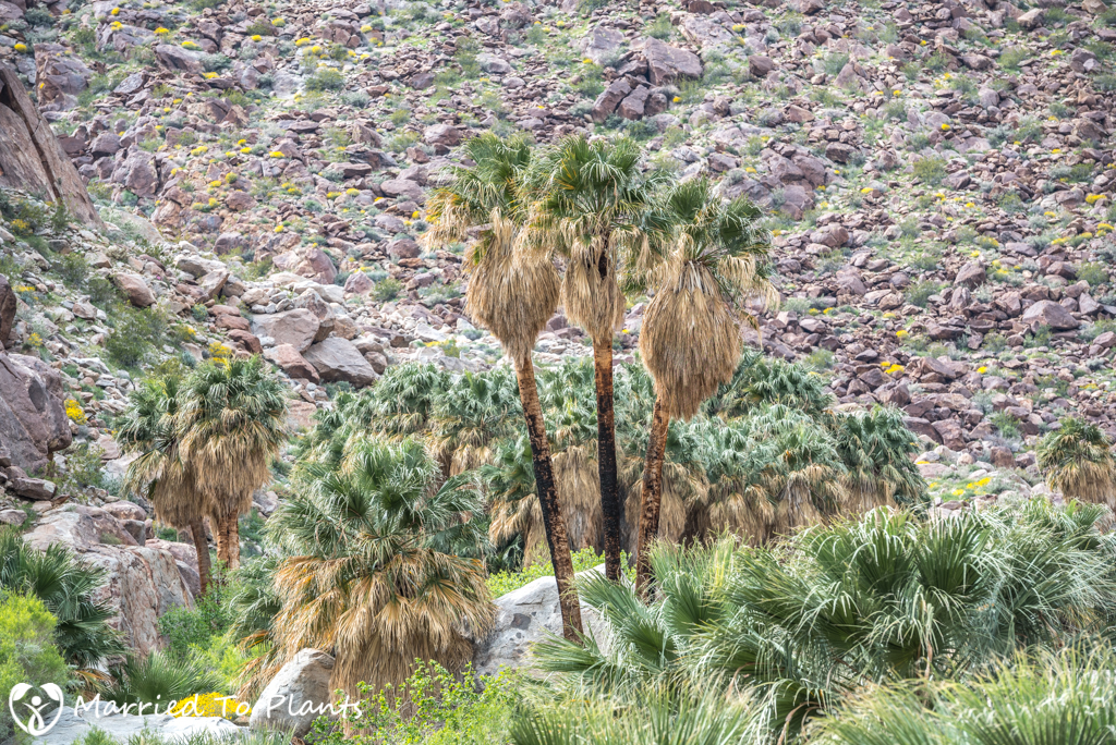 Palm Canyon - Washingtonia filifera Three Amigos