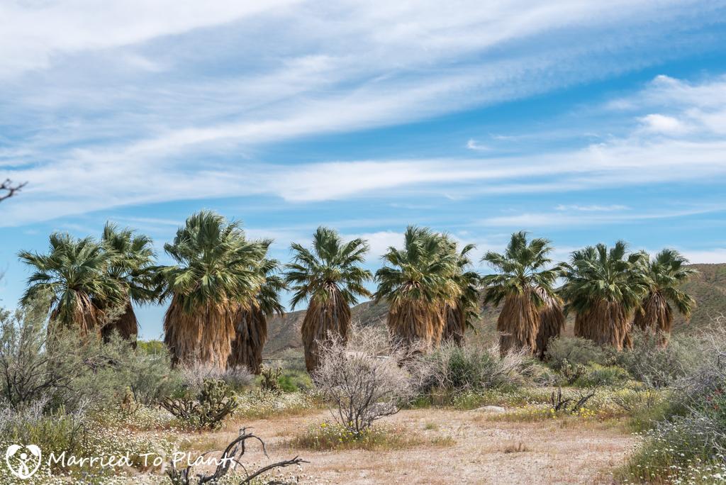Palm Canyon - Trail Head Palms