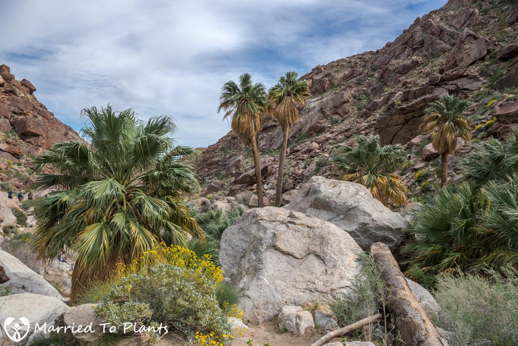 Palm Canyon - Washingtonia filifera Group