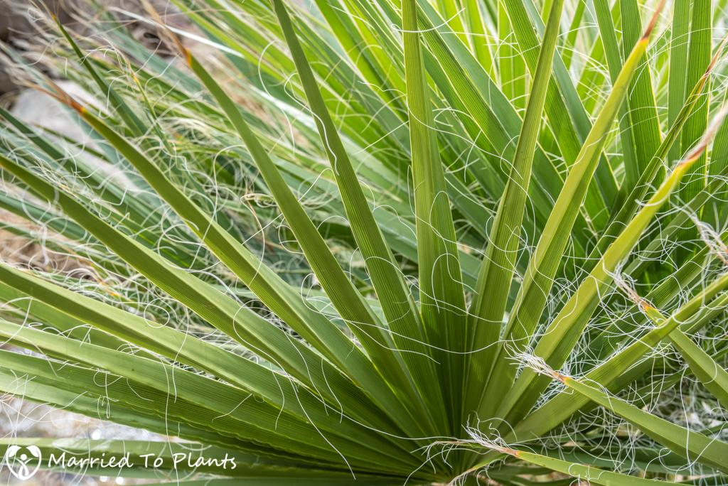 Palm Canyon - Washingtonia filifera Leaf Detail