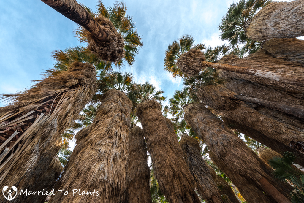 Palm Canyon - Washingtonia filifera Canopy