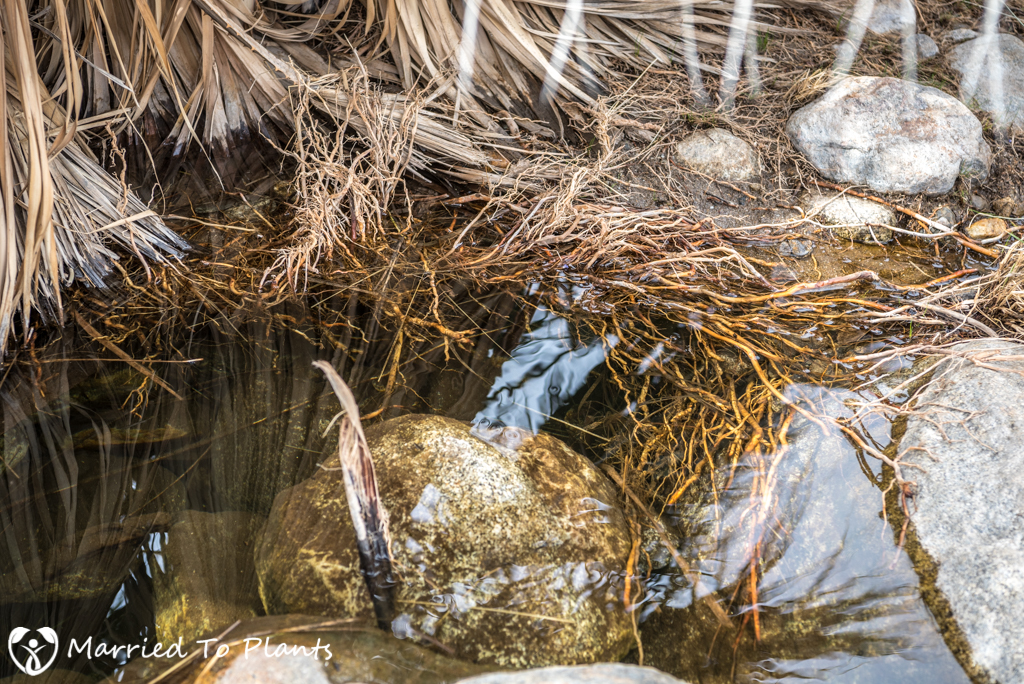Palm Canyon - Washingtonia filifera Roots in Water