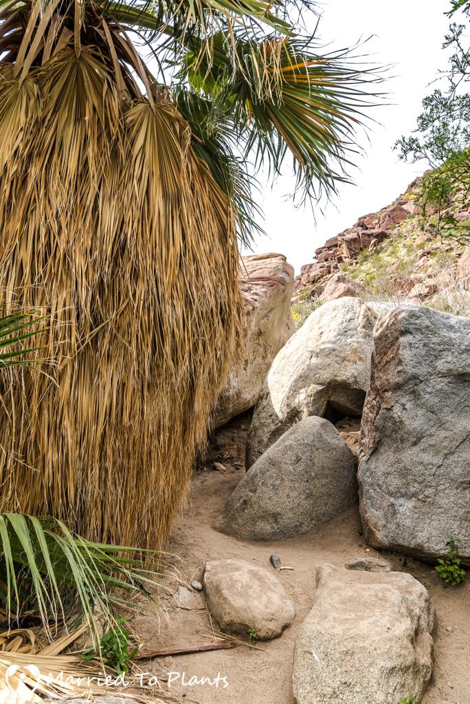 Palm Canyon - Washingtonia filifera Skirt