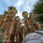 Hiking Palm Canyon in the Anza-Borrego Desert to see the Washingtonia filifera oasis