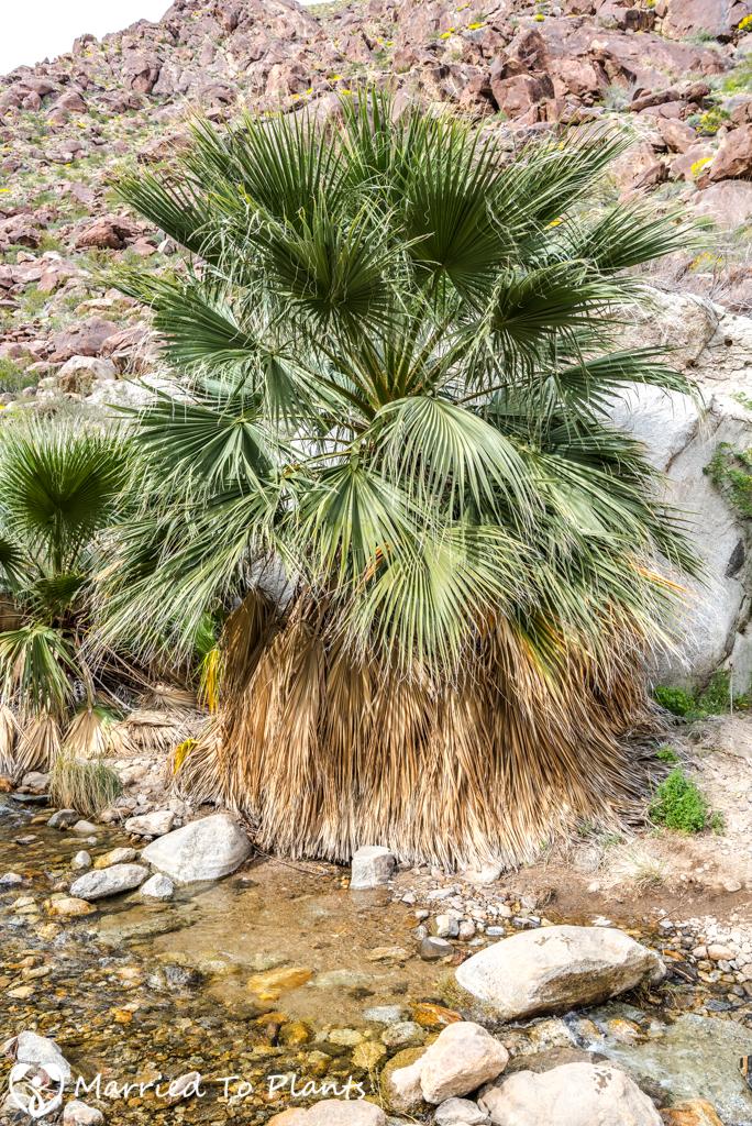 Palm Canyon - Washingtonia filifera