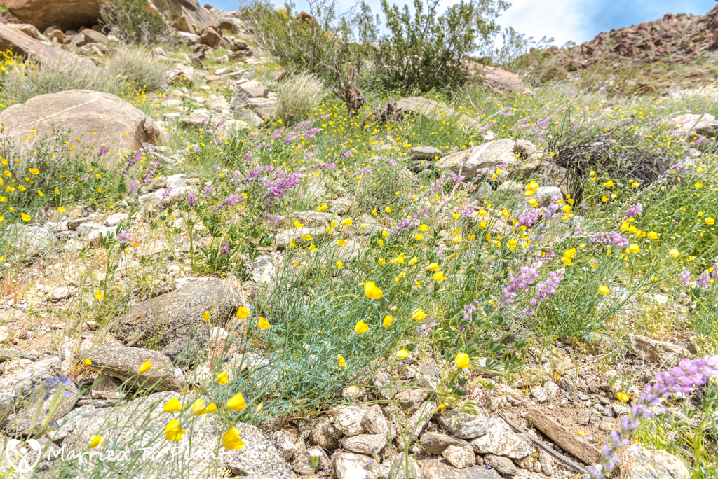 Palm Canyon - Wildflowers