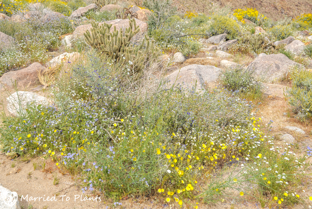 Palm Canyon - Wildflowers